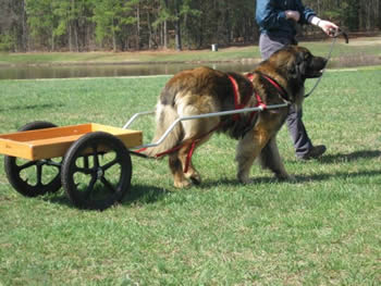 Carting And Drafting Leonberger Club Of Canada