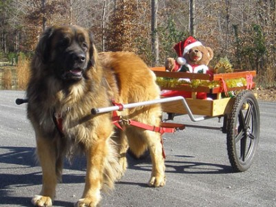 Welcome to the Leonberger Club of Canada!